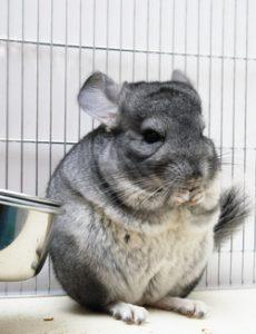 alimentation du chinchilla